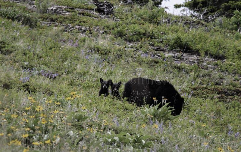 niedźwiadkowi czarny lisiątka fotografia royalty free