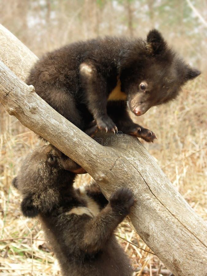 niedźwiadkowi młode obrazy royalty free
