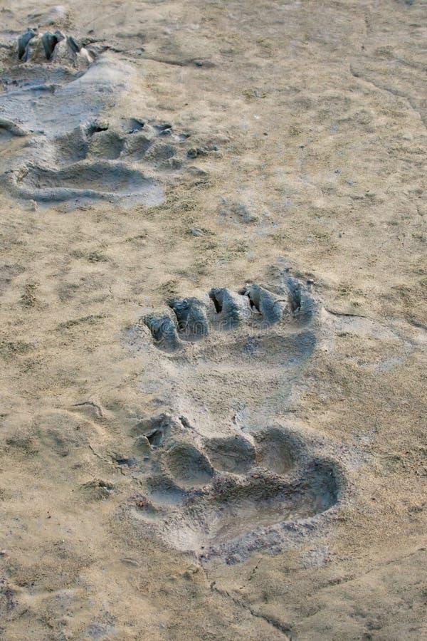 Niedźwiadkowi odciski stopy fotografia royalty free