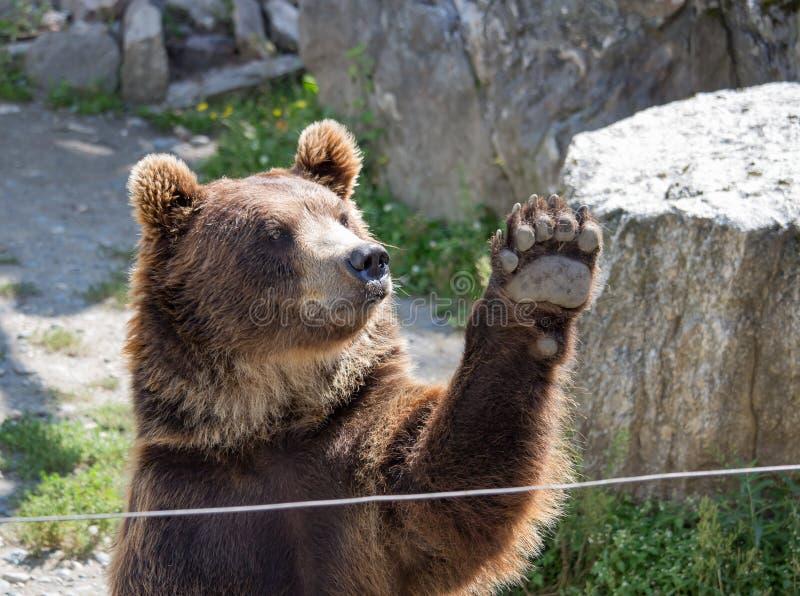 niedźwiadkowi rozrywki łapy goście czekają fala powitań zoo obraz royalty free