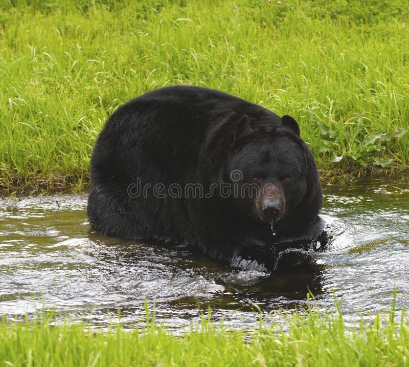 niedźwiadkowy Amerykanina czerń zdjęcia stock