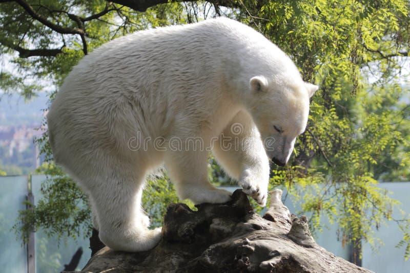 niedźwiadkowy biegunowy obraz stock