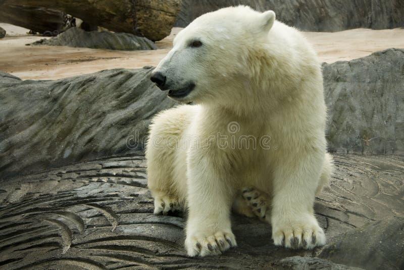 niedźwiadkowy biegunowy biały zoo obraz royalty free