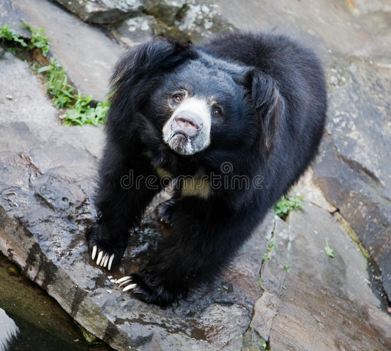 niedźwiadkowy czarny himalajski zdjęcie royalty free