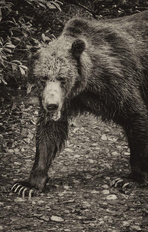 Niedźwiadkowy czarny i biały fotografia stock