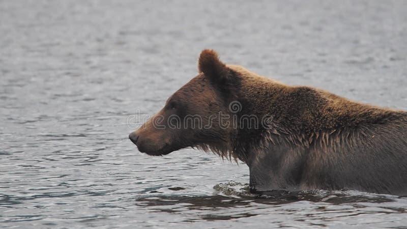 Niedźwiadkowy dopłynięcie w Kanada, na przygodzie przy Wielkiego niedźwiedzia stróżówką zdjęcia stock