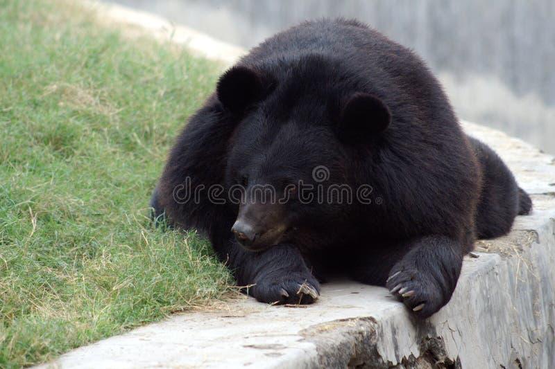 niedźwiadkowy himalajski obrazy royalty free
