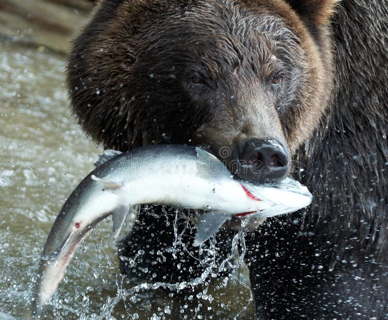 niedźwiadkowy Kamchatka zdjęcie royalty free