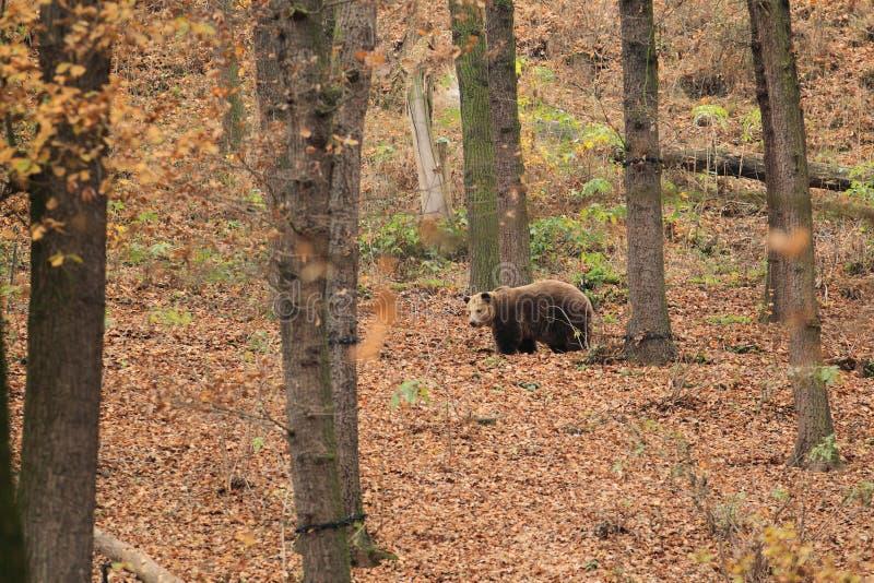niedźwiadkowy las obraz royalty free