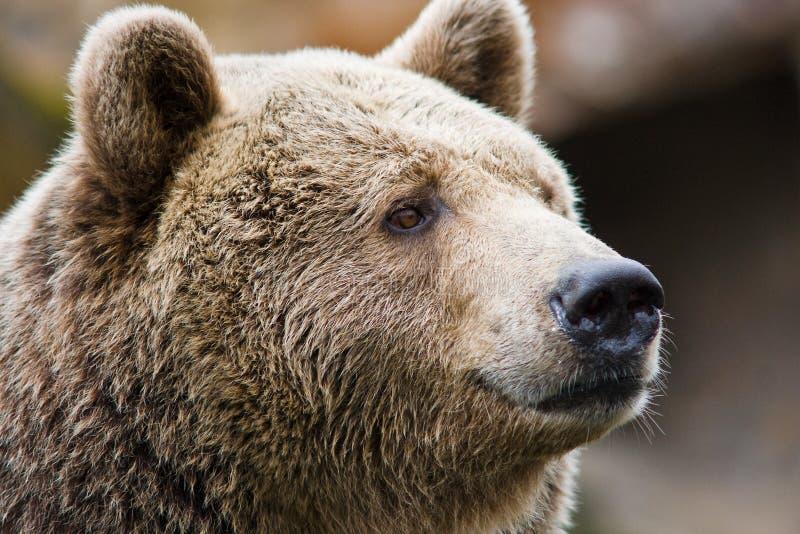 niedźwiadkowy portret zdjęcie stock
