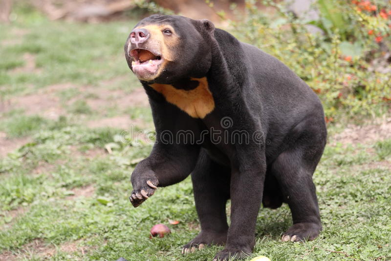 niedźwiadkowy słońce zdjęcia royalty free