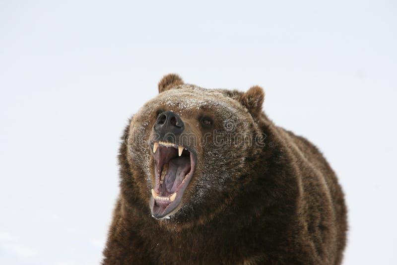 niedźwiadkowy target1984_0_ grizzly obraz royalty free