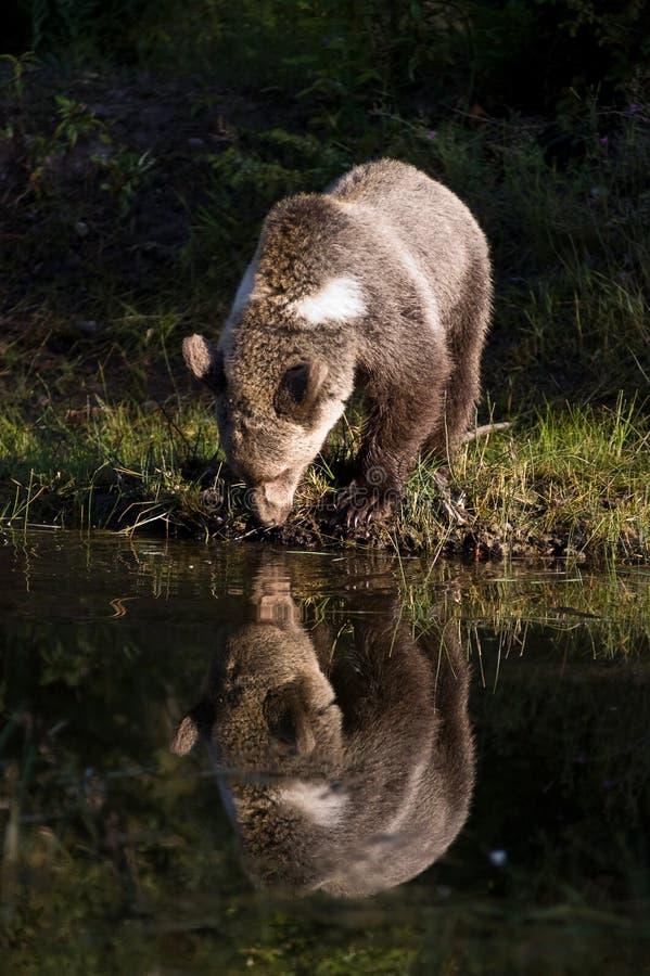 niedźwiadkowy target944_0_ grizzly obrazy stock