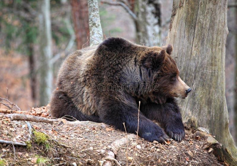 niedźwiadkowy włoch fotografia royalty free