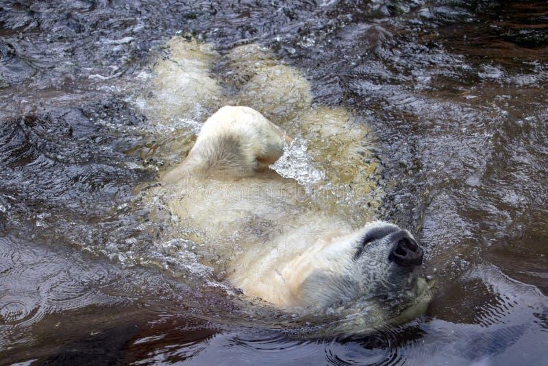 Niedźwiedź biały w wodzie pływa w tył fotografia royalty free