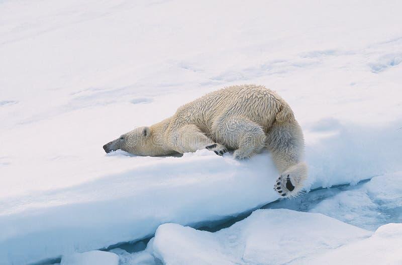 niedźwiedź biegunowy obrazy stock