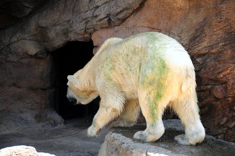 niedźwiedź biegunowy obraz royalty free