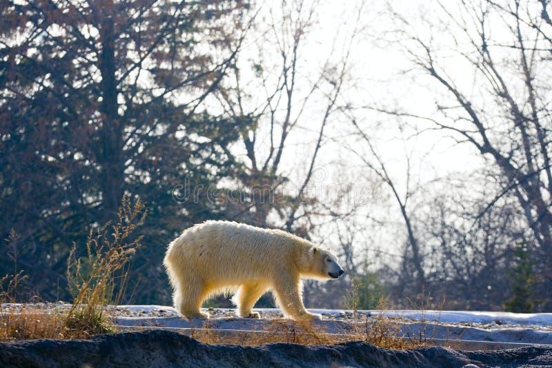 niedźwiedź biegunowy obrazy royalty free