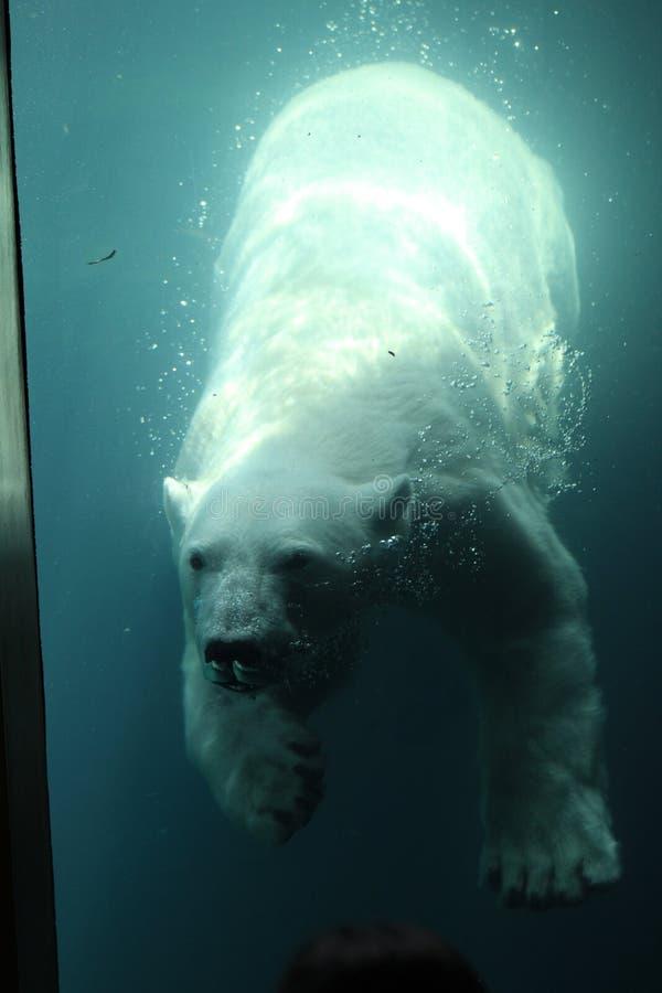 niedźwiedź biegunowy opływa zdjęcia royalty free