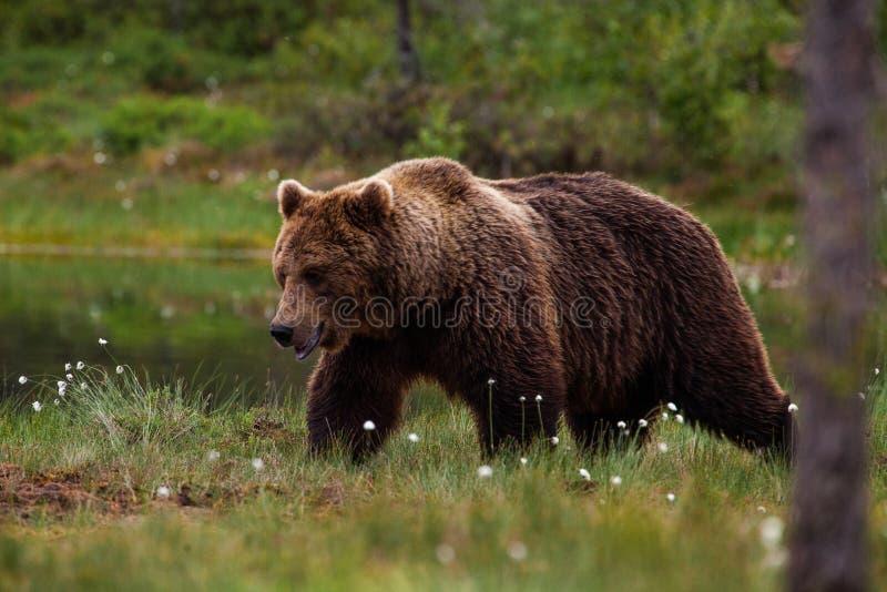 Niedźwiedź brunatny chodzi na peatland w Wschodnim Finlandia zdjęcie stock