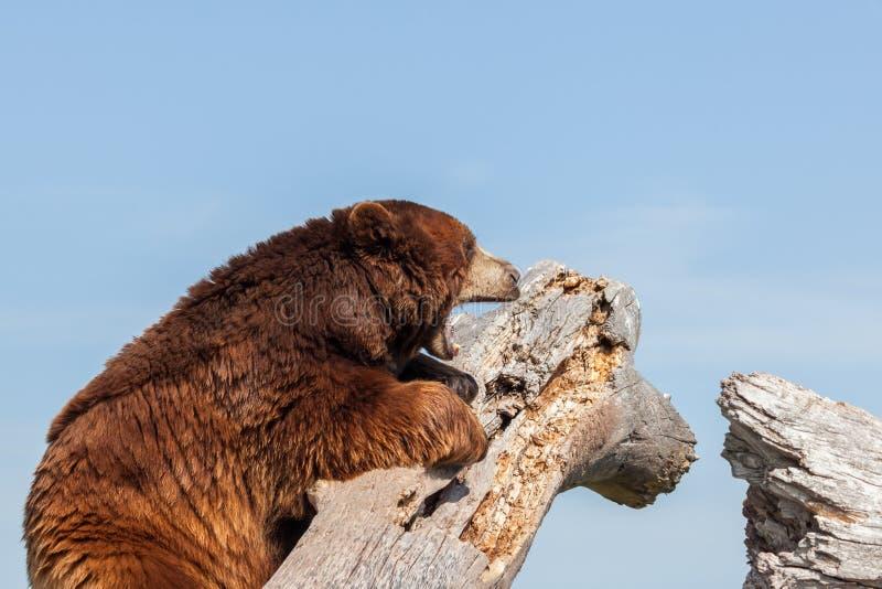 Niedźwiedź brunatny obraz royalty free