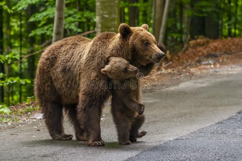 Niedźwiedź brunatny i lisiątko w naturalnym parku obraz royalty free