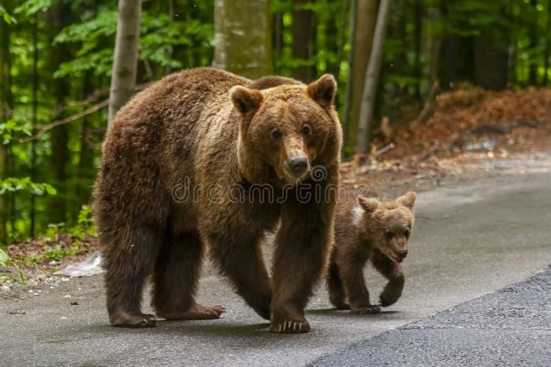 Niedźwiedź brunatny i lisiątko w naturalnym parku fotografia stock