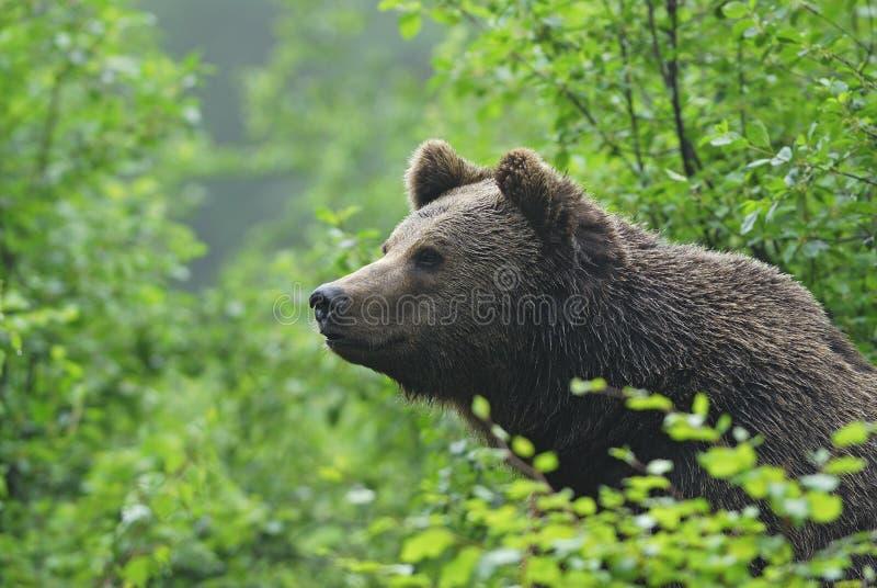 Niedźwiedź Brunatny patrzeje z krzaka obraz royalty free