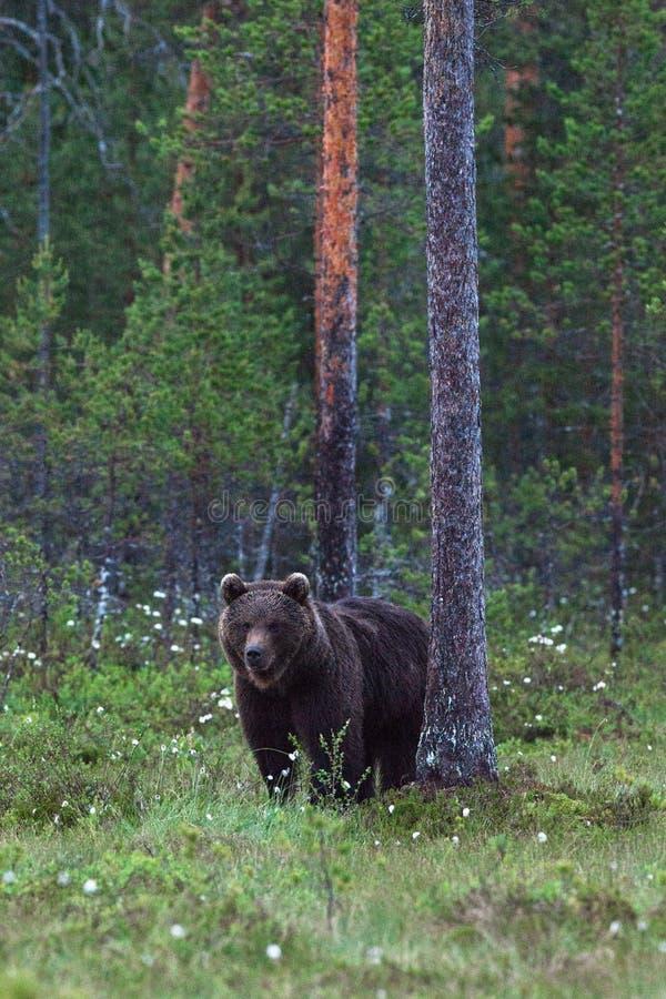 Niedźwiedź brunatny stoi bezczynnie sosny obraz royalty free
