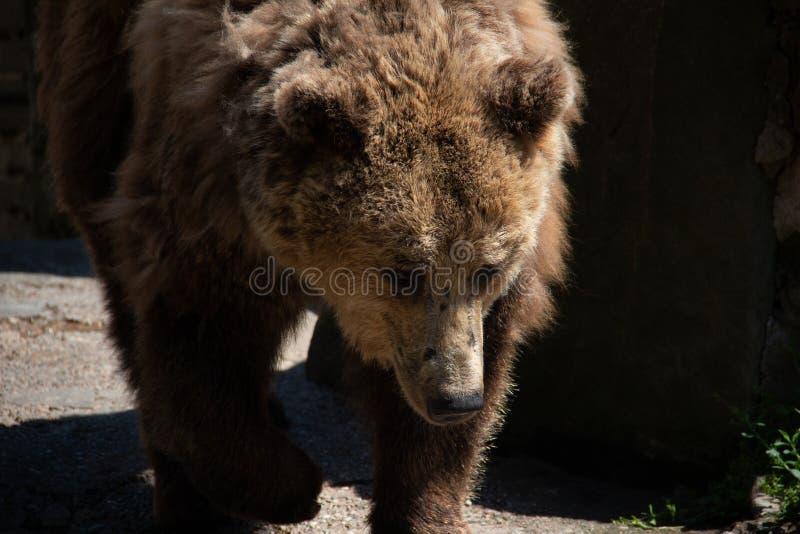 niedźwiedź brunatny szuka stosownego miejsce dokąd tam jest żadny gorący światło słoneczne zdjęcie stock