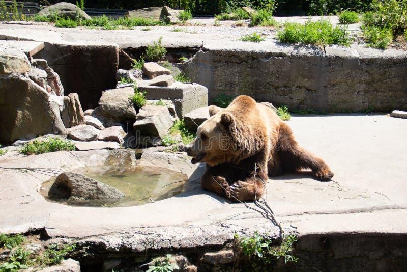 niedźwiedź brunatny szuka stosownego miejsce dokąd tam jest żadny gorący światło słoneczne obraz stock