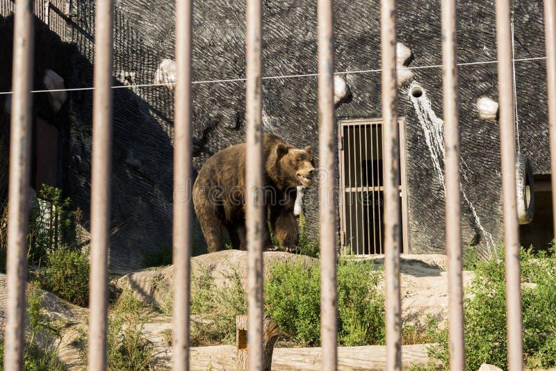 Niedźwiedź brunatny w klatce zoo zdjęcia royalty free