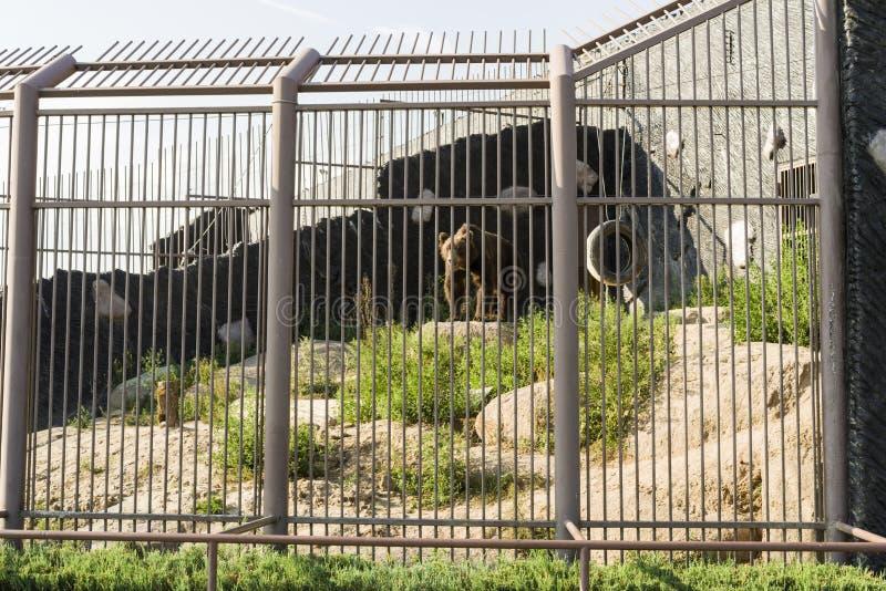 Niedźwiedź brunatny w klatce zoo zdjęcie royalty free