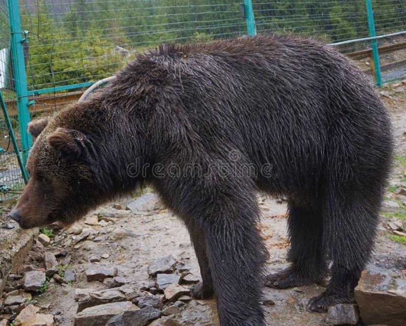 Niedźwiedź brunatny w zoo w klatce zdjęcia stock