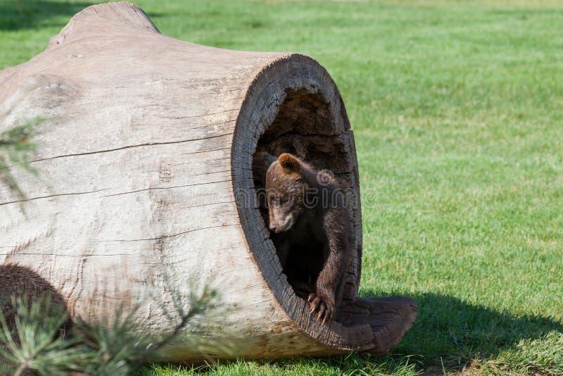 Niedźwiedź dziecięcy obraz royalty free