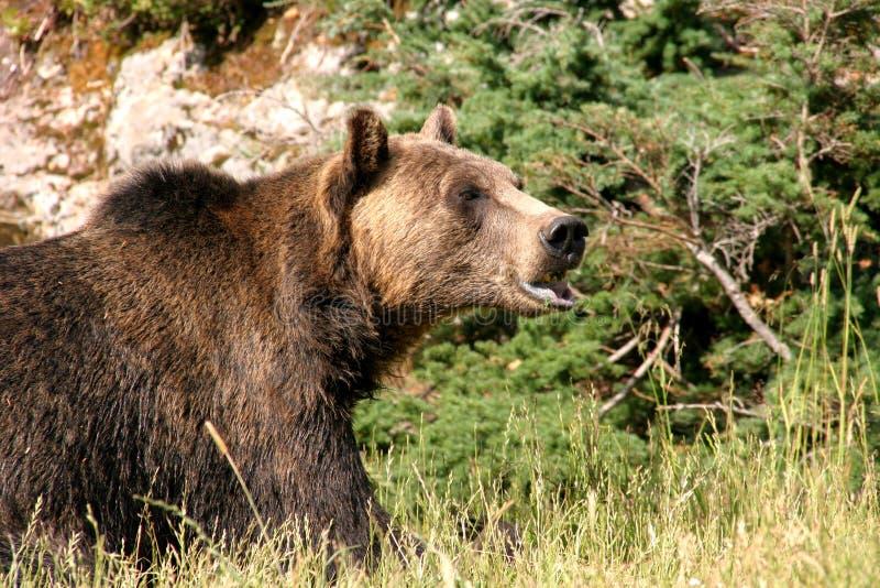 niedźwiedź grizzly zdjęcia stock