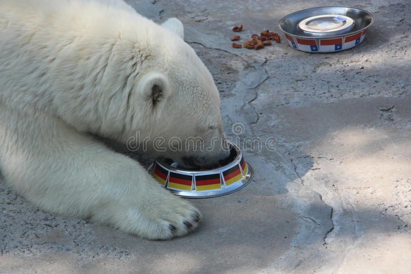 Niedźwiedź je od pucharu z flaga Niemcy zdjęcia stock