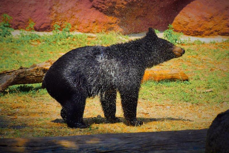 Niedźwiedź kropi wodę po ładnego skąpania zdjęcia royalty free