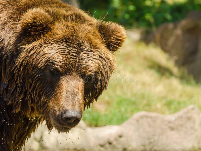 Niedźwiedź lubi target532_0_ zdjęcia royalty free