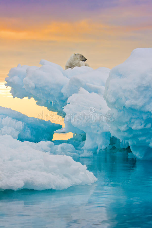 niedźwiedź marznący wychód biegunowy zdjęcie stock