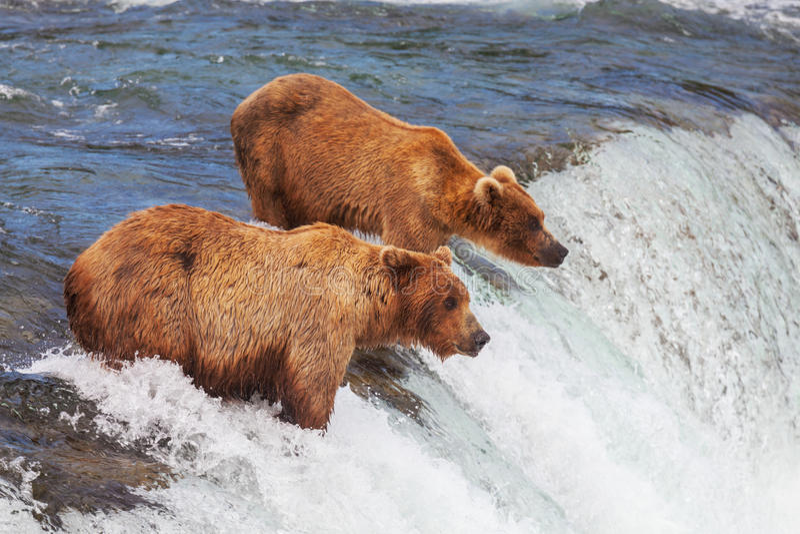 Niedźwiedź na Alaska obraz royalty free