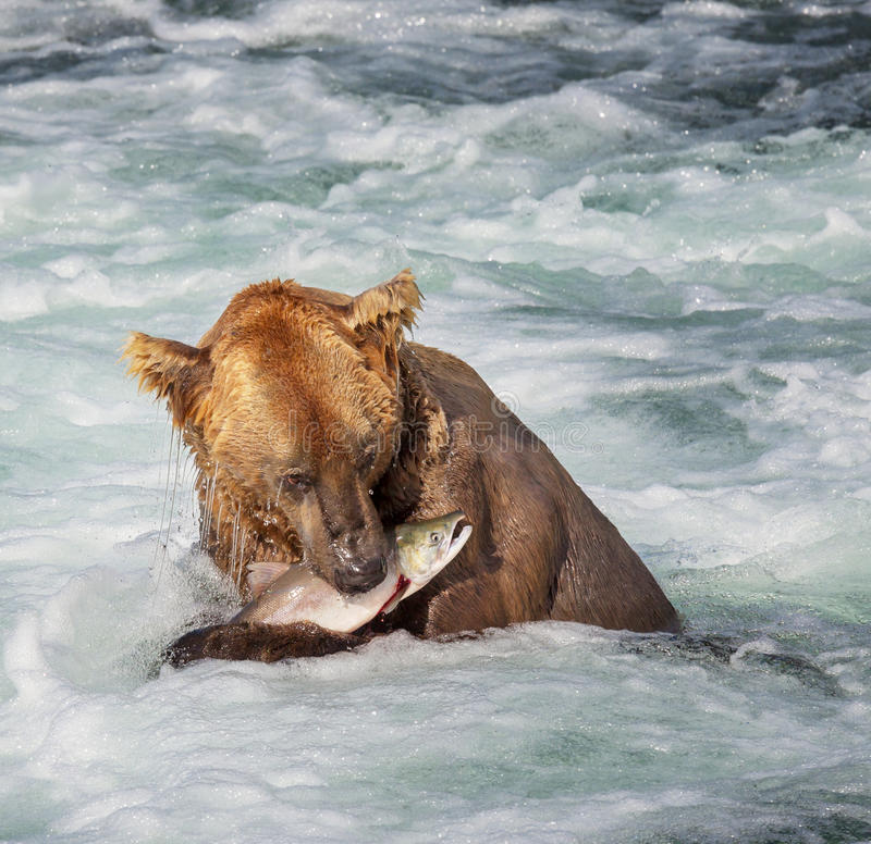 Niedźwiedź na Alaska fotografia stock