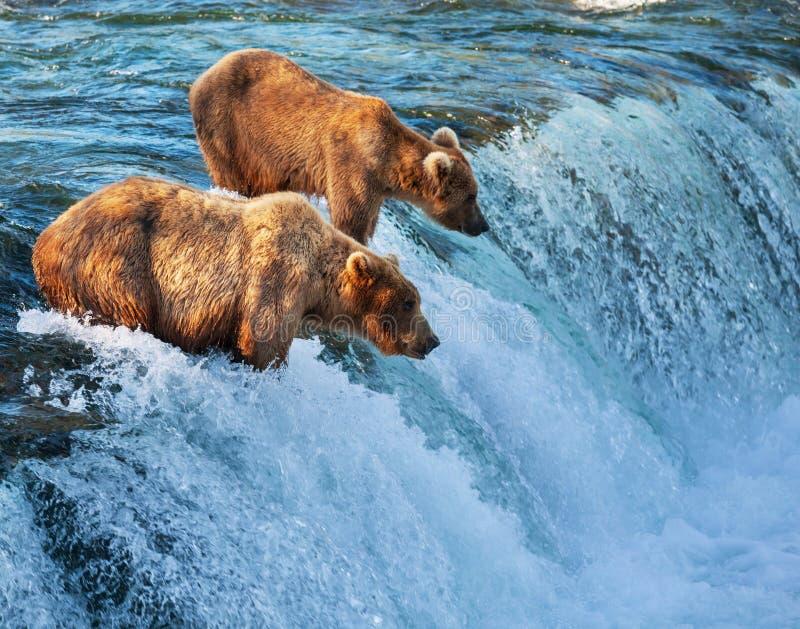 Niedźwiedź na Alaska zdjęcia royalty free