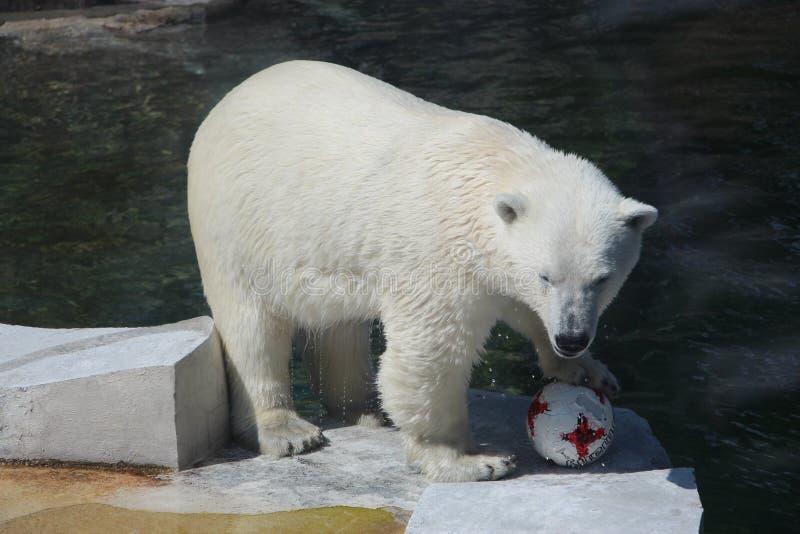 Niedźwiedź Nika przechwala się o ekstrakci Niemiecką piłkę przy Moskwa zoo zdjęcia stock