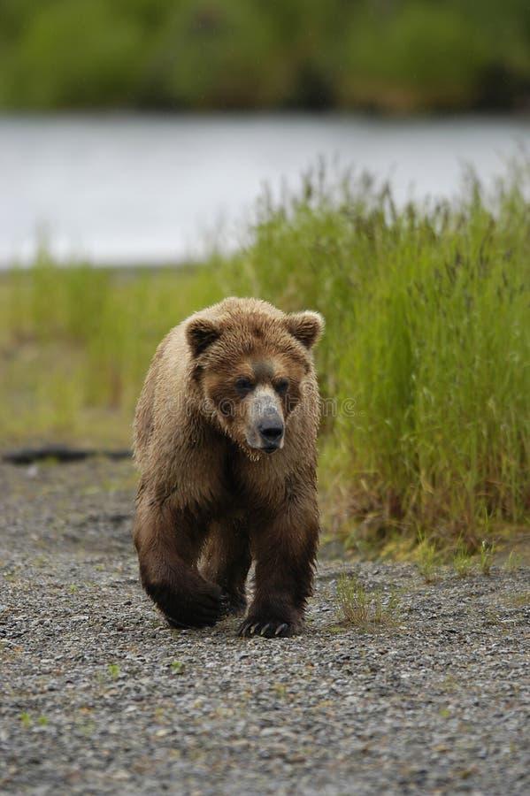 niedźwiedź plażowy brown, obraz royalty free