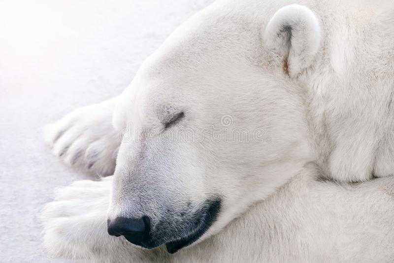 Niedźwiedź polarny śpi na lodzie fotografia royalty free