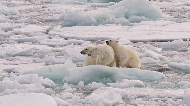 Niedźwiedź Polarny i lisiątka zdjęcie royalty free