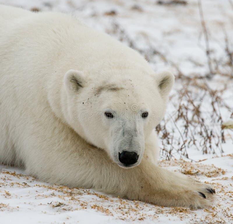 Niedźwiedź polarny kłama w śniegu w tundrze Kanada Churchill park narodowy zdjęcie royalty free