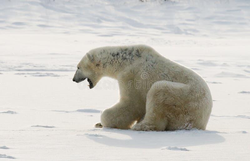 Niedźwiedź polarny kłama w śniegu w tundrze Kanada Churchill park narodowy fotografia royalty free