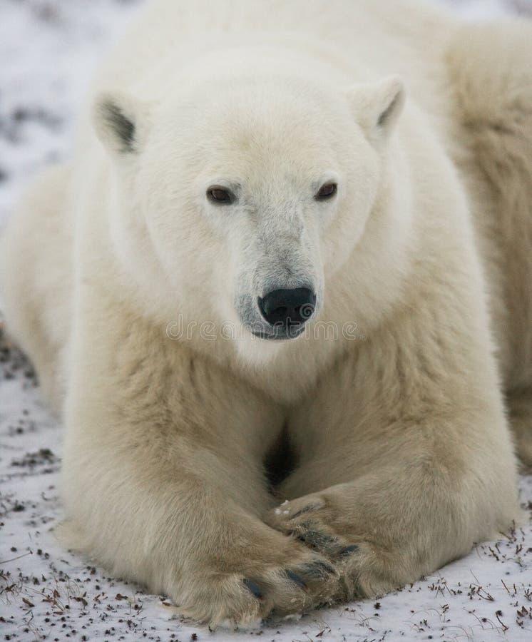 Niedźwiedź polarny kłama w śniegu w tundrze Kanada Churchill park narodowy zdjęcia royalty free